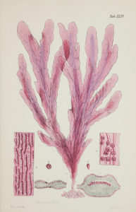 red algae illustration